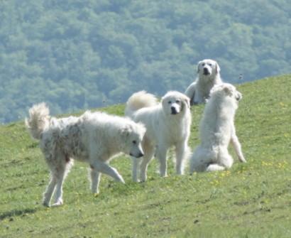 maremma sheep Dogs Pienza Tuscany Italy