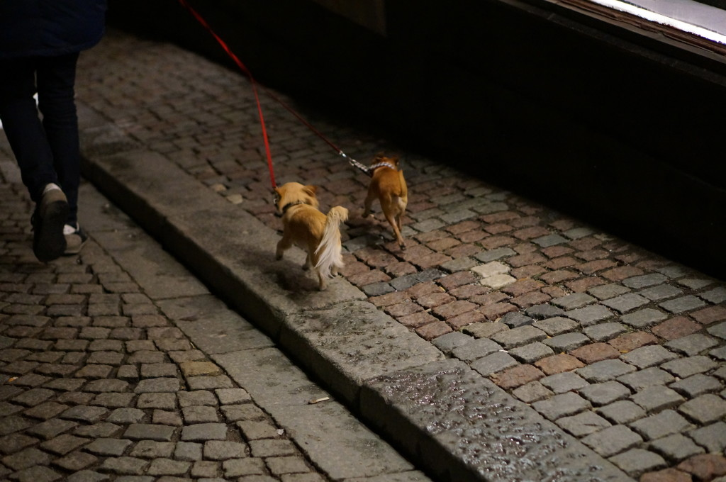 Stockholm chihuahuas walking at night