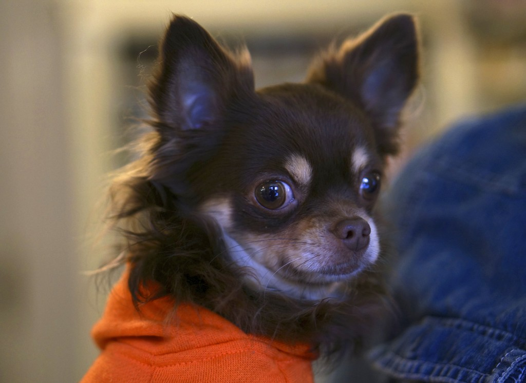 brown long haired chihuahua