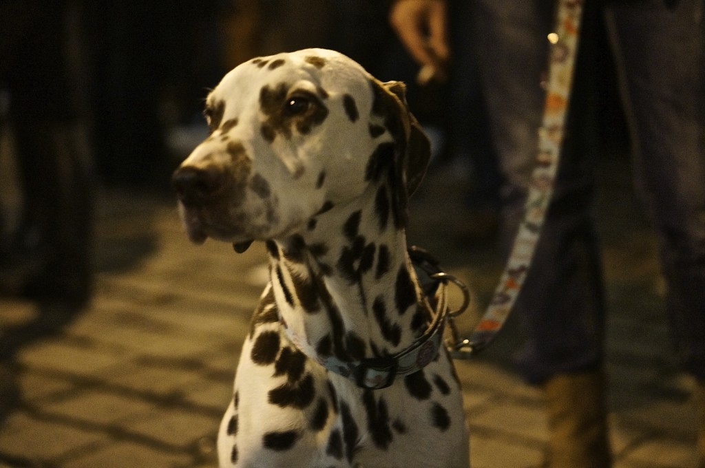 dalmation with black and white spots