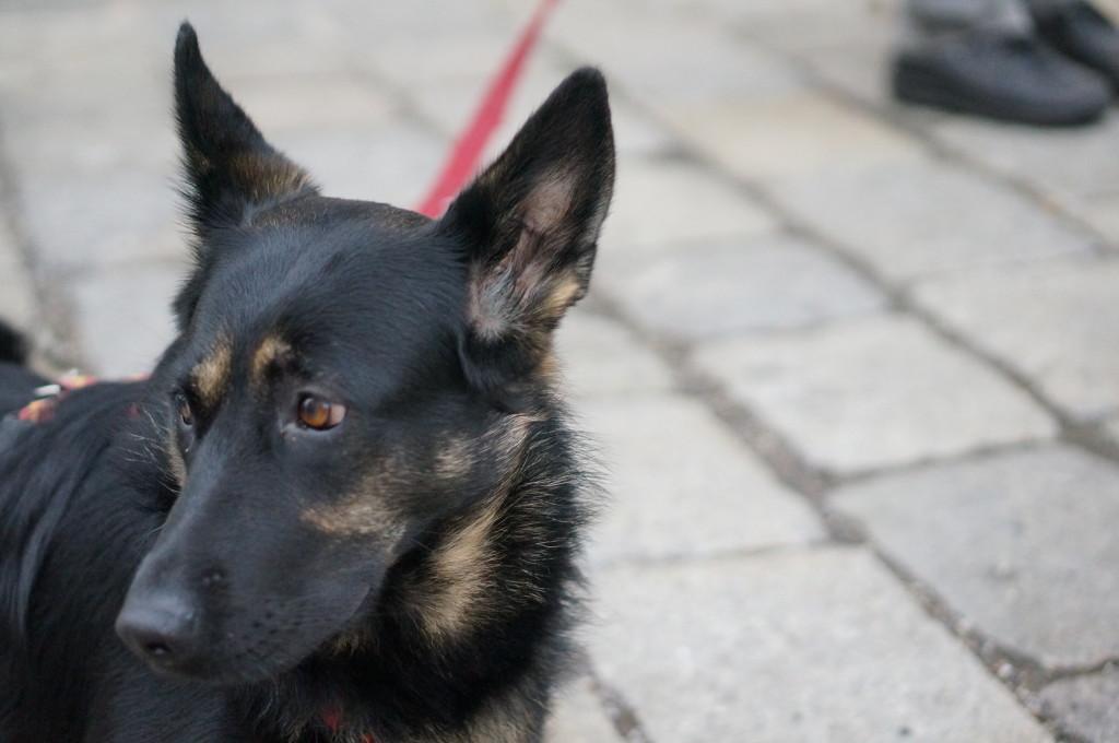 black and tan dog cute