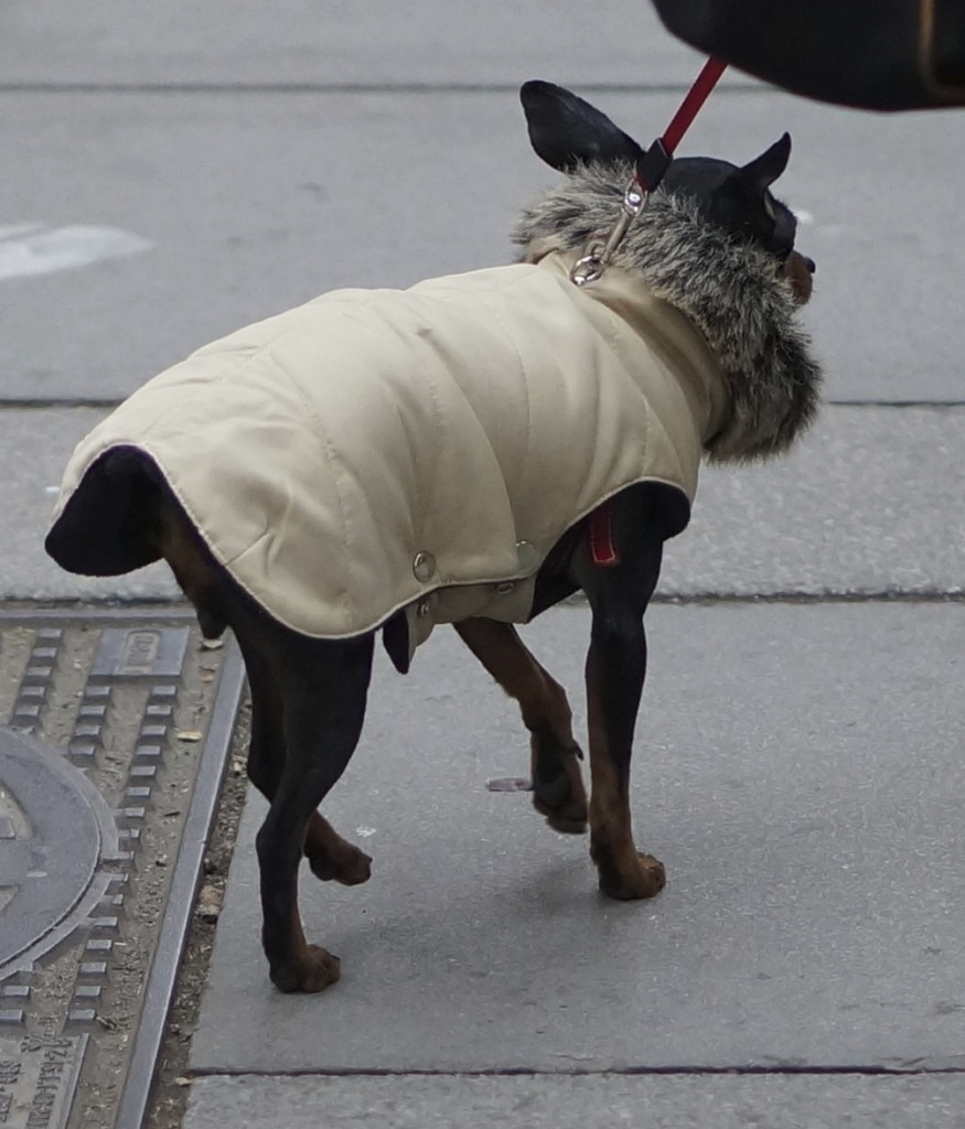 chihuahua in fur collar coat.