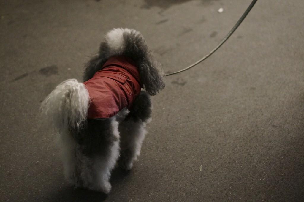 fluffy poodle on walk