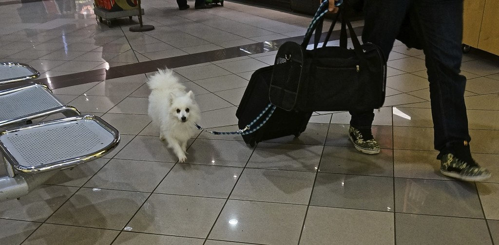 white pomeranian at aiport