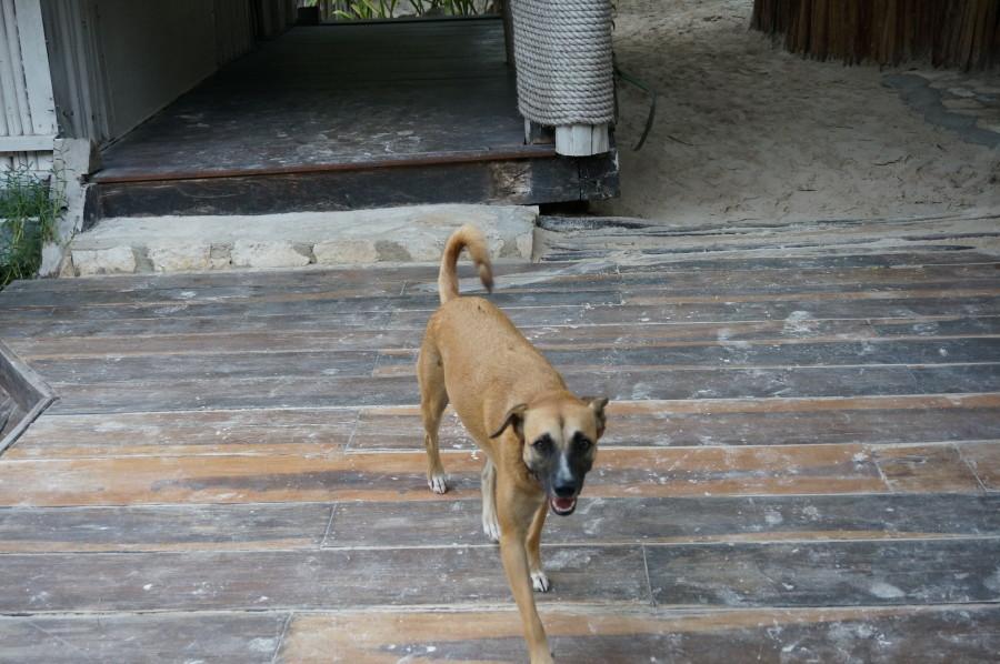 beach dog tulum