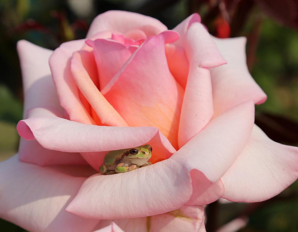 frog in flower