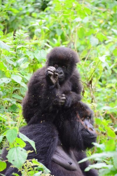 rwanda two gorillas